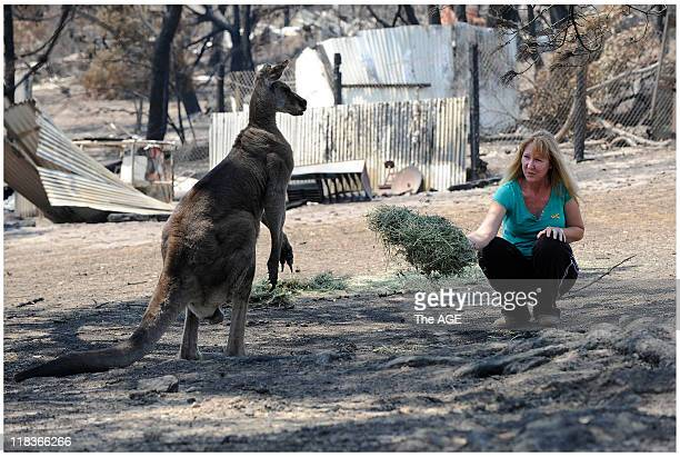 Michel Dodd passes some Lucern to 'Old man Roo' an Eastern Grey Kangaroo at her St Andrews property which was destroyed by bushfire Tuesday 17...
