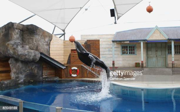 'Michie' a Californian Sea Lion performs a trick during the ReOpening of the Taronga Zoo Seal Show in the Great Southern Oceans Precinct on July 24...