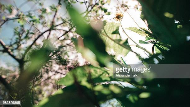 Michigan dandelions