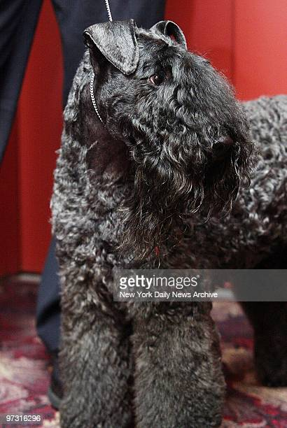 Mick fresh from last night's triumph at the 127th Westminster Kennel Club Dog Show arrives for a steak lunch at Sardi's Mick known in show biz as Ch...