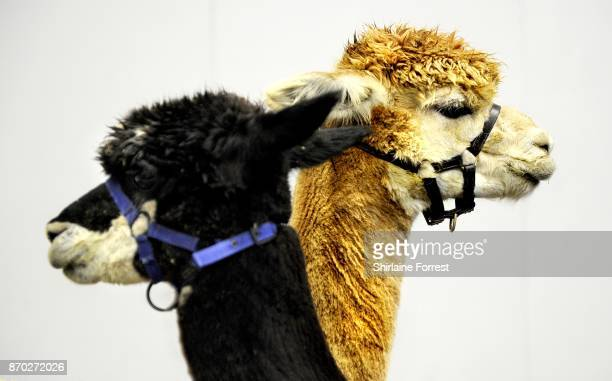 Mickey and Orlando Alpacas attends the National Pet Show at The NEC Arena on November 4 2017 in Birmingham England