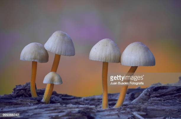 micologica - fungus stock pictures, royalty-free photos & images