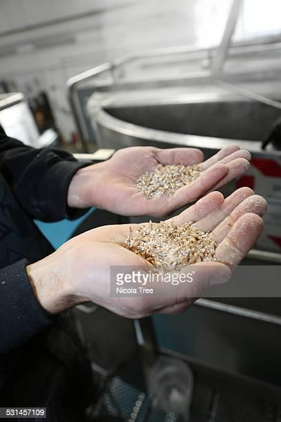 micro brewer worker holding up malt grain