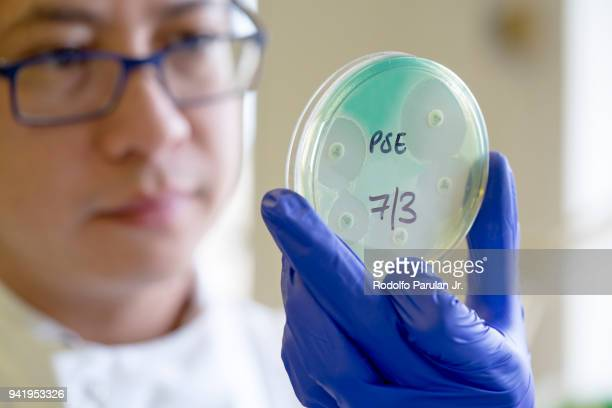 Microbiologist holding an antibiotic sensitivity plate of an Pseudomonas auruginosa bacteria