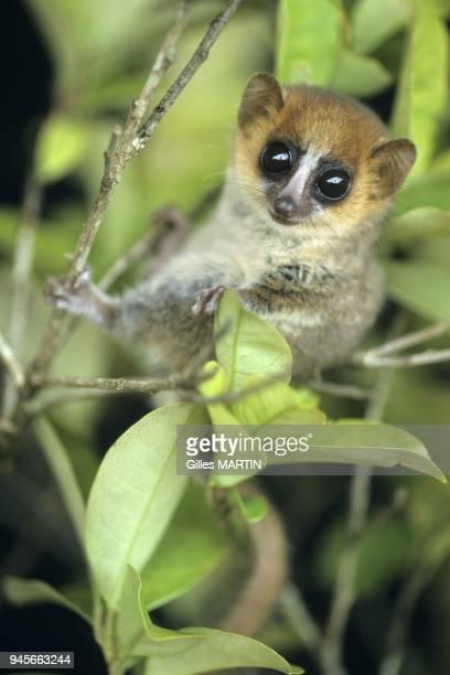 Microcebe sur une branche Ce minuscule lemurien de Madagascar appartient a la famille des Cheirogalides Il a de grands yeux adaptes a la vie la nuit...