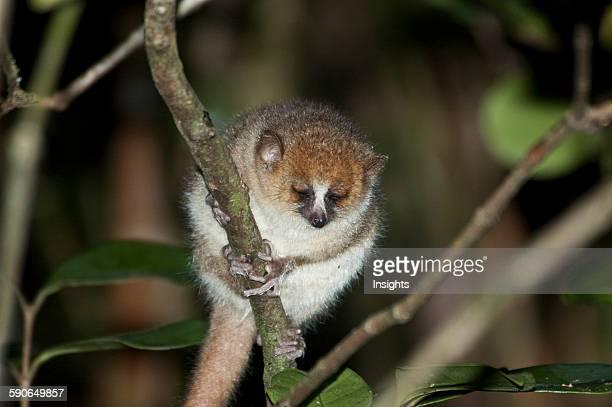 Microcebus Rufus In Ranomafana National Park Fianarantsoa Province Madagascar