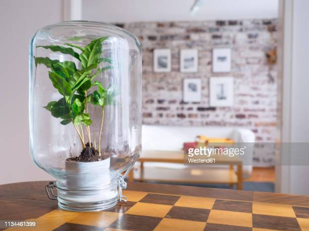 microclimate, coffee plant under glass, water, recycled, biotope in glass - klima stock-fotos und bilder