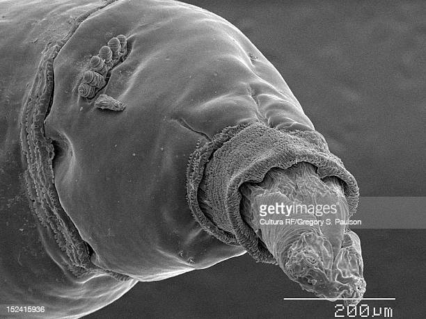 sem micrograph of a house fly maggot - maggot stock photos and pictures