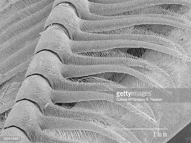 SEM Micrograph of a moth antenna