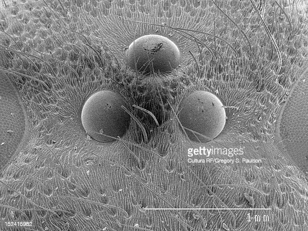 SEM Micrograph of a ocelli on wasp