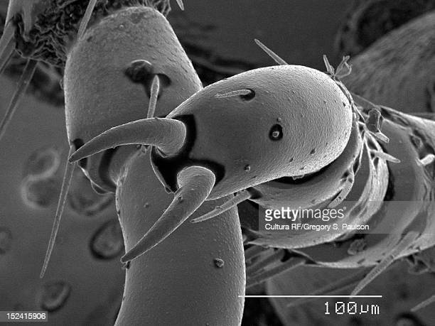 sem micrograph of beetle claws - beetles with pincers stock pictures, royalty-free photos & images