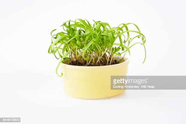 Microgreen spinach in a pot