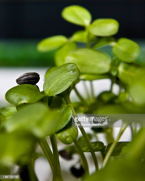 Microgreen sunflower seeds are nutured in the greenhouse Tuesday January 3 2012 in Purcellville VA