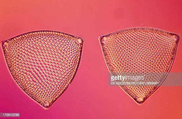 Microphotograph of triceratium sedecens diatom algae
