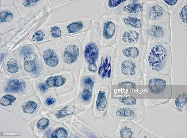 Microscope image of plant cells stained for nuclei