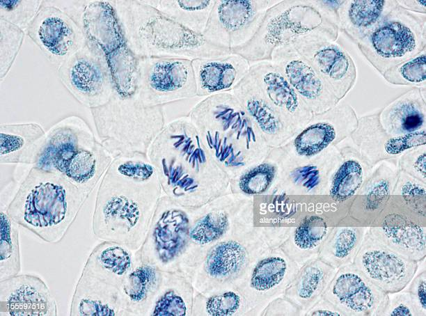 microscope image of plant cells with three nuclei in anaphase - celldelning bildbanksfoton och bilder