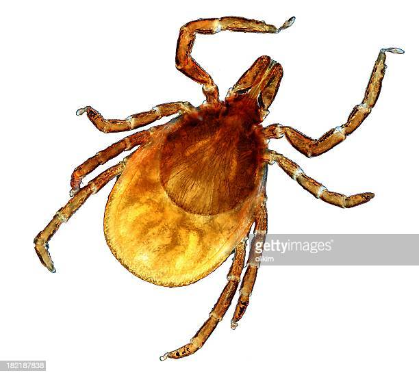 microscopic image of a tick - pathogen stock photos and pictures