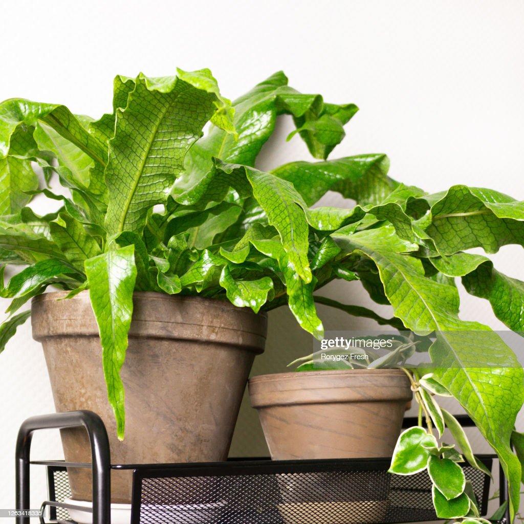 Microsorum musifolium plants on shelf in front of gray wall. : Stock Photo