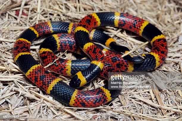 micrurus tener - kingsnake stock photos and pictures