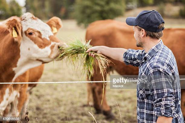 mid adult farmer feeding cow in field - mid adult men fotografías e imágenes de stock