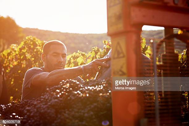 mid adult farmer harvesting grapes - viniculture stock pictures, royalty-free photos & images