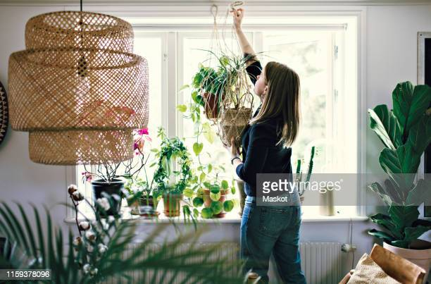 mid adult female environmentalist hanging potted plant on window in room at home - pendere foto e immagini stock