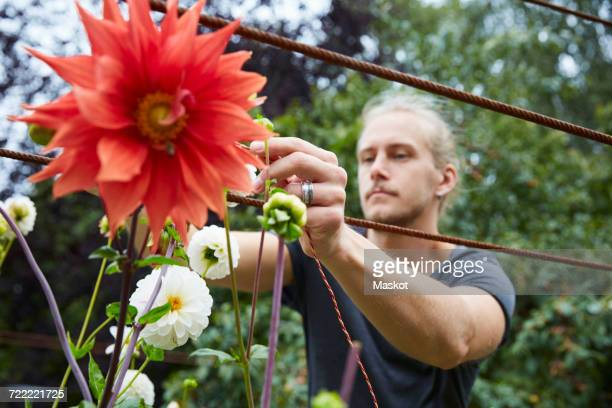 Mid adult gardener tying string to flowers for support in yard