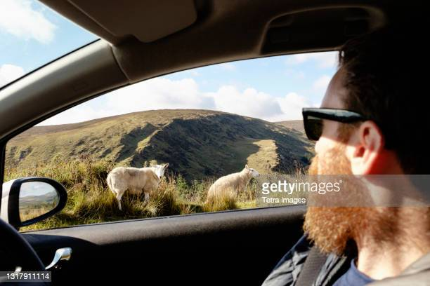 mid adult man looking at sheep through car window - looking through window stock pictures, royalty-free photos & images