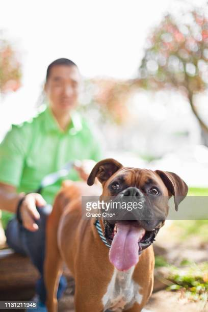 mid adult man with his boxer dog in park - boxer dog stock pictures, royalty-free photos & images