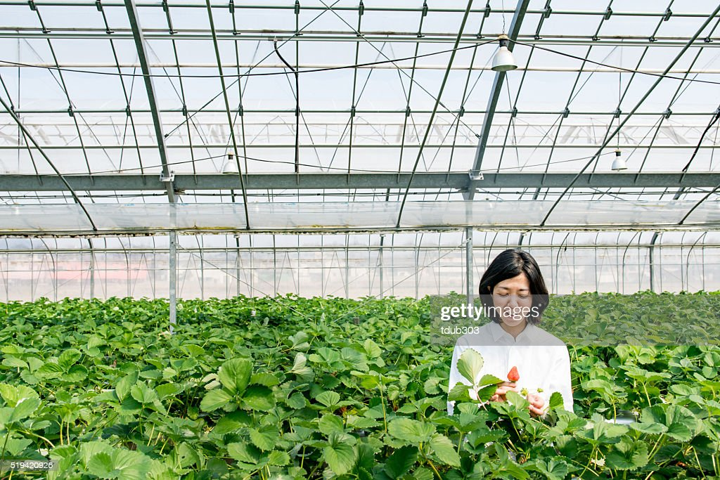 Mid adult woman farmer picking strawberries in a greenhouse : Stock Photo