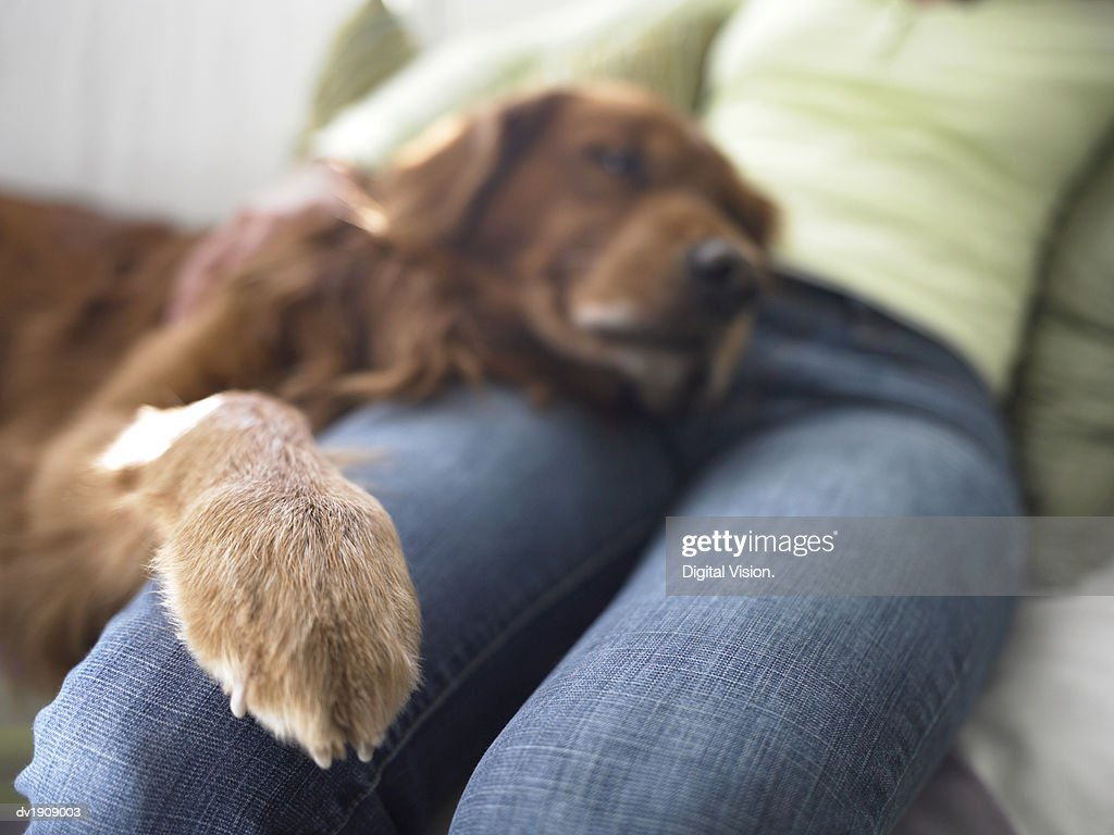 Mid Section Of A Woman Sitting On A Sofa Dog Resting His