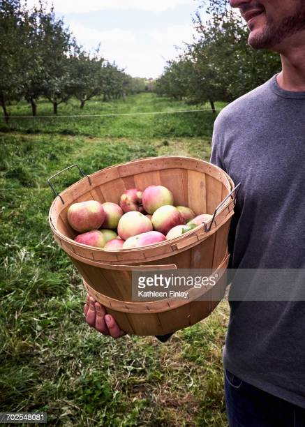 Mid section of man holding bucket of freshly picked apples