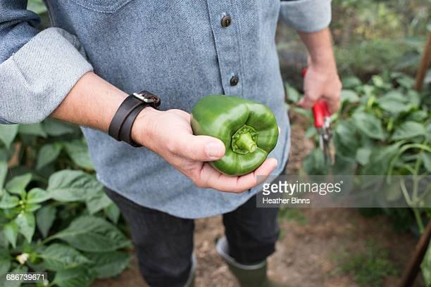 mid section of man holding green pepper in organic farm poly tunnel - pimiento verde fotografías e imágenes de stock