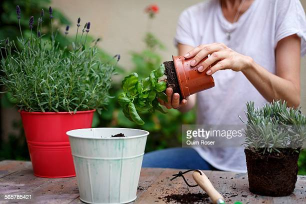 mid section of mid adult woman potting plants - potting stock pictures, royalty-free photos & images