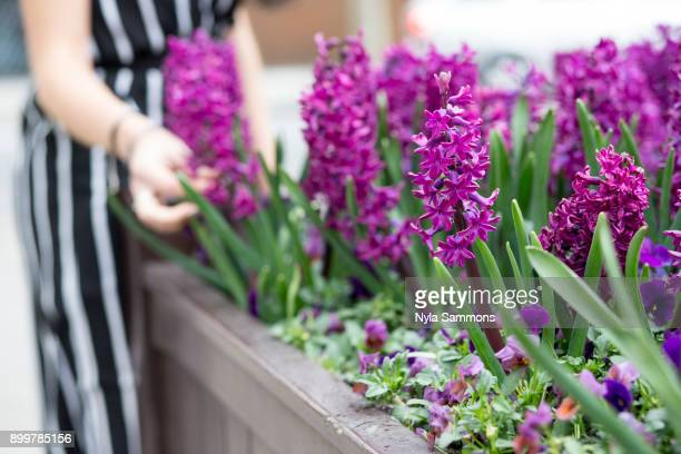 Mid section of young womans hand touching purple hyacinth in planter