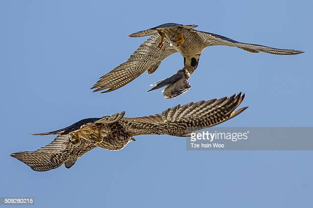 mid-air food transfer between peregrine falcons - falco pellegrino foto e immagini stock