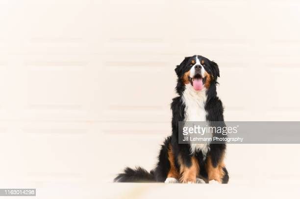 middle aged bernese mountain dog sits in front of the garage door outdoors - san bernardo fotografías e imágenes de stock