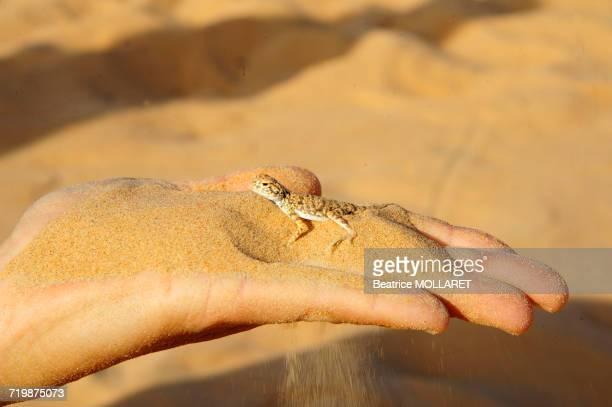 Middle East, Sultanate of OMAN, Rub al Khali desert, hand holding a little agama lezard