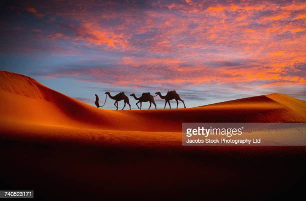 middle eastern man walking camels in desert at sunset - naher und mittlerer osten stock-fotos und bilder