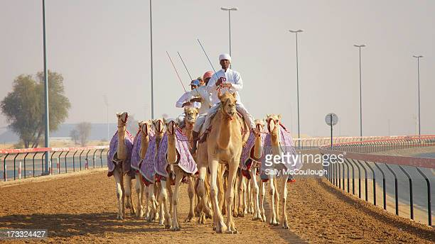 CONTENT] Middle Eastern trainers warming up their camels to prepare for a race at the Al Marmoum Race Track in Dubai on a dusty Sunday morning 24th...
