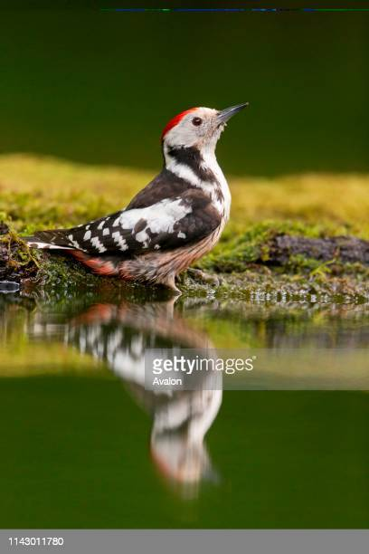 Middle Spotted Woodpecker adult perched on edge of woodland pool with reflection Debrecen Hungary May