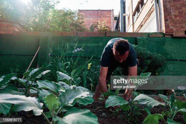 middle-aged man works in an urban orchard - ecology concept - producer stock pictures, royalty-free photos & images