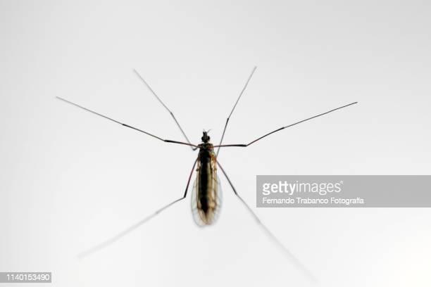 midge fly - マラリアカ ストックフォトと画像