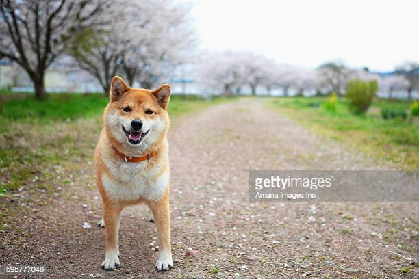 midget shiba standing on dirt track - midget stock photos and pictures