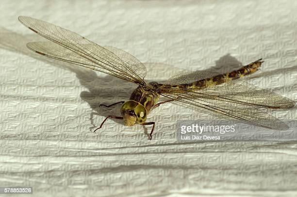 Midland Clubtail dragonfly