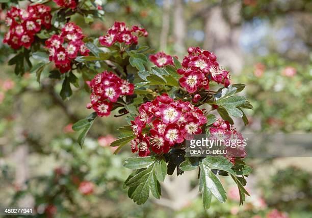 Midland hawthorn or English hawthorn Rosaceae