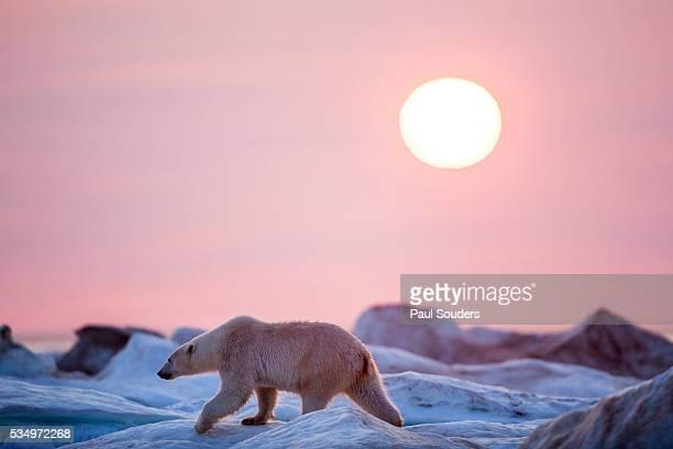Midnight Sun and Polar Bear, Hudson Bay, Nunavut, Canada