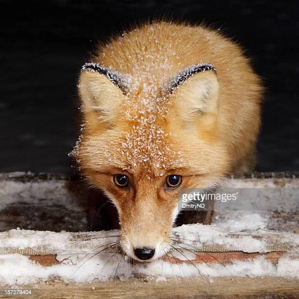 mezzanotte visitatore, volpe rossa. - volpe rossa foto e immagini stock