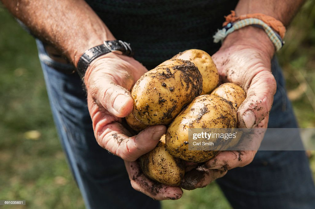 Midsection of man holding dirty potatoes in garden : Stock Photo