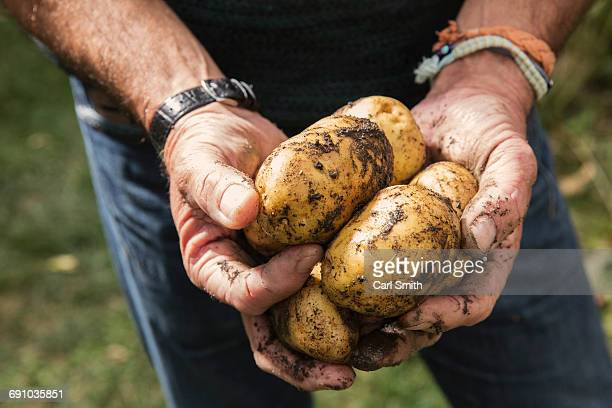 midsection of man holding dirty potatoes in garden - rauwe aardappel stockfoto's en -beelden